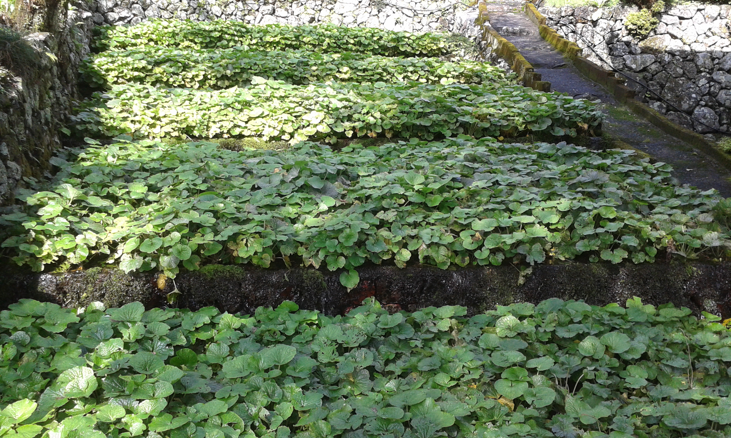 wasabi cultivation agrodirect